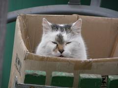 Felix in a box 083 (lilli2de) Tags: cat felix siesta kater imgarten schlfchen inmymomsgarden werstrt folienzelt 19febr2011 whodisturbsme