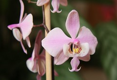 Phalaenopsis schilleriana by blumenbiene, on Flickr
