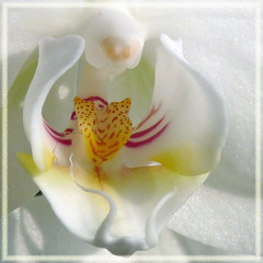 Orchid - Orchidee (Cajaflez) Tags: white orchid flower macro orchidee wit bloem masterphotos natureselegantshots 100commentgroup mygearandme