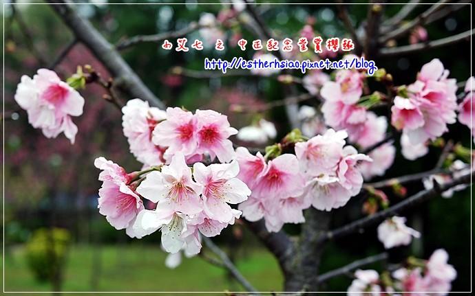 73 中正紀念堂櫻花