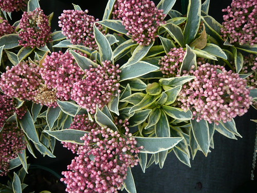 Magic Marlot Skimmia