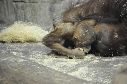 Orangutans wresting