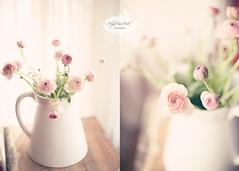 Enjoy... (Arlyne VanHook Photography) Tags: pink window still nikon naturallight ranunculus vase creamy dippy d700