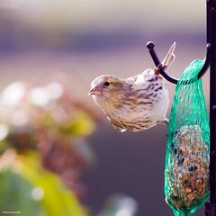 A female Siskin - our first on the feeders :) (Tony Emmett) Tags: france bird birds garden wildlife sony feathers sigma alpha birdwatcher siskin beautifulbird a700 sonyalpha sonyalpha700 minoltaamount sigma150500mmf563dgoshsm