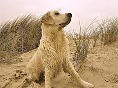 Fits well in with the Dutch dunes (Guido Havelaar) Tags: dog chien dogs cane goldenretriever puppy hound canine retriever perro hund pup cao grcn caneimmagini fotosdoco fotosdelperro