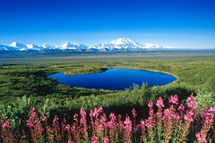 532959 (botafogopaixao) Tags: mountain flower nature water field horizontal alaska landscape nationalpark pond day unitedstates outdoor scenic location snowcapped northamerica tundra mountainrange denalinp otherus
