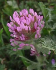 Owls Clover 04 (Tom Hilton) Tags: color wildflowers castilleja castillejaexserta orobanchaceae windwolvespreserve