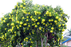 Displays of the Golden Penda - Xanthostemon chrysanthus (emblatame (Ron)) Tags: flower yellow bloom cairns myrtaceae tropicalnorthqueensland australiannativeflower bloomen goldenpenda xanthostemonchrysanthus rainforesttree expogold