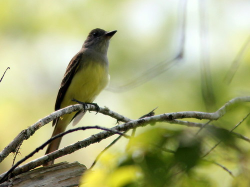 Great Crested Flycatcher 2-20110313