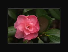Hendricks Park Series ( 11/17) (JSB PHOTOGRAPHS) Tags: park flower oregon lens nikon d2x eugene series nikkor hendricks 18200mm