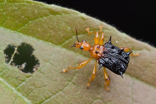 spiny / spiky giraffe weevil / long necked beetle on celtis sp plant IMG_8603 copy