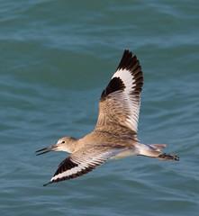 Willet in flight (Phil Armishaw) Tags: wild copyright bird key phil florida flight longboat willet 2011 armishaw
