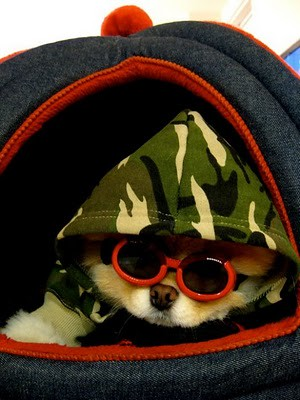 boo_Pomeranian_Dog_29