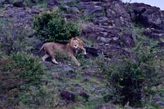 Male Lion growling (Ken Zaremba) Tags: africa felidae geography kenya kingofthebeasts lion maasaimaragamereserve olareorokconservancy pantheraleo animal bigcats carnivores malelion mammals