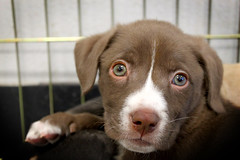Site Pup Toad's Close Up at 8 weeks (Immature Animals) Tags: blue arizona rescue dog baby green animal puppy nose site mutt mix eyes labrador tucson shepherd australian pima whiskers foster bark adopt petco adoption neuter spay koalition