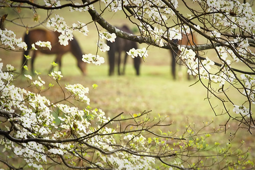 13/52- Just For Fun- Horsing Around in the Dogwoods
