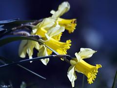 tromboncino (stegdino) Tags: flower dof daffodil fiore yellw gamewinner challengeyouwinner tromboncino challengegamewinner friendlychallenges yourock1st pregamewinner