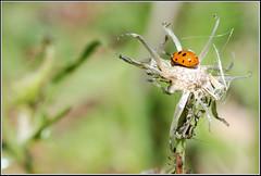 Variegated Lady Beetle -    (Eran Finkle) Tags: macro closeup ladybird ladybug ladybeetle larva coccinellidae  raynoxdcr250 hippodamiavariegata variegatedladybeetle    nikon2880mmf3356g    eranfinkle    13