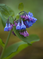 Virginia Bluebells (Bernie Kasper) Tags: flowers blue macro green nature floral photography leaf spring nikon raw sigma cliftyfalls naturephotography virginiabluebells madisonindiana cliftyfallsstatepark berniekasper madisonindianacliftyfallsstatepark