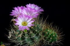 Acanthocalycium violaceum (clement_peiffer) Tags: acanthocalycium violaceum d7100 105mm nikon cactus fleurs flower cactaceae succulent flowerscolors