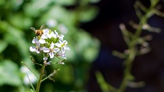 Pollinating the Weeds (Warpstar Photography) Tags: bokeh bee bees insects insect flowers weeds nature garden 50mm