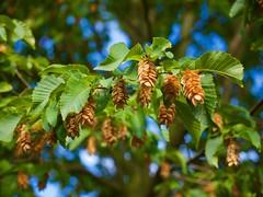 Hainbuche - Fruchtstand (mikehaui60) Tags: olympusomdem1 omd em1 mft hainbuche baum fruchtstand buche flora bokeh