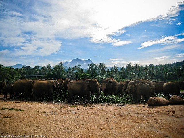 Стадо слонов