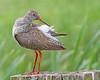 Redshank Preen (Andrew Haynes Wildlife Images) Tags: bird nature canon wildlife norfolk nwt 7d redshank wader cleymarsh ajh2008