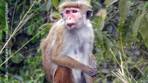 Dusky Toque Monkey(Macaca sinica aurifrons)