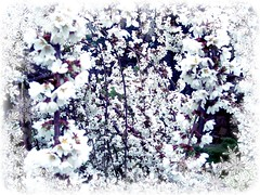 veil of white blossoms