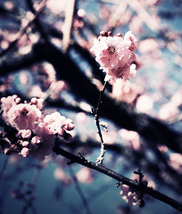 [Free Image] Flower/Plant, Rosaceae, Cherry Blossoms, Spring, 201102051300