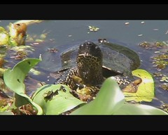 Rhinoclemmys punctularia (Spot-legged Turtle) (Arthur Chapman) Tags: video costarica turtles reptilia inbio testudines santodomingodeheredia rhinoclemmys punctularia taxonomy:class=reptilia taxonomy:kingdom=animalia taxonomy:phylum=chordata taxonomy:order=testudines geocode:accuracy=200meters geocode:method=googleearth geo:country=costarica spotleggedturtle rhinoclemmyspunctularia taxonomy:common=spotleggedturtle taxonomy:genus=rhinoclemmys taxonomy:binomial=rhinoclemmyspunctularia geo:region=centralamerica taxonomy:family=geomydidae