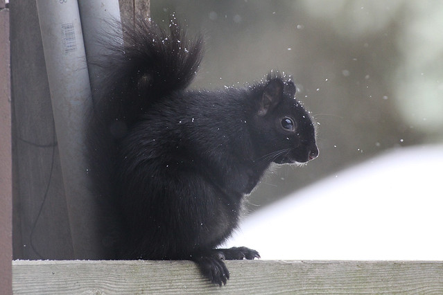snowysquirrel