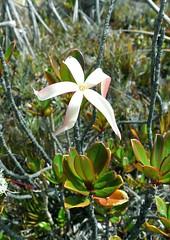 Maguireothamnus speciosus (Rubiaceae)
