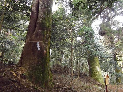 天然記念物の大杉 #2
