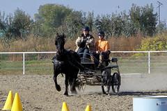 100b4270 (obsidianmoonranch) Tags: horses horse equestrian equine friesian horsemanship carriagedriving