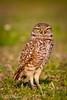 2011-Feb - Burrowing Owl - Brian Piccolo Park - FL © Rui Teixeira - 001-4.jpg