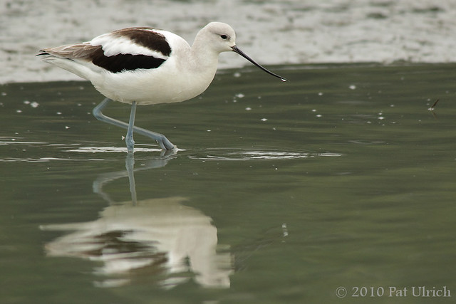American avocet - Pat Ulrich Wildlife Photography