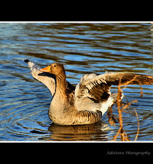 ~I am so ready for Spring~ (Adettara Photography) Tags: blue wild lake color nature water beauty wings bright zoom branches sunny aves goose animalia telephotolens anatidae anseriformes chordata anserinae anserini galloanserae canon300mm adettara mygearandme mygearandmepremium mygearandmebronze mygearandmesilver mygearandmegold mygearandmeplatinum