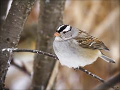 white capped sparrow_2047 (sheke1) Tags: park cambridge white ontario bird canon riverside birding kerry sparrow 7d preston sheppard capped 100400mm sheke1
