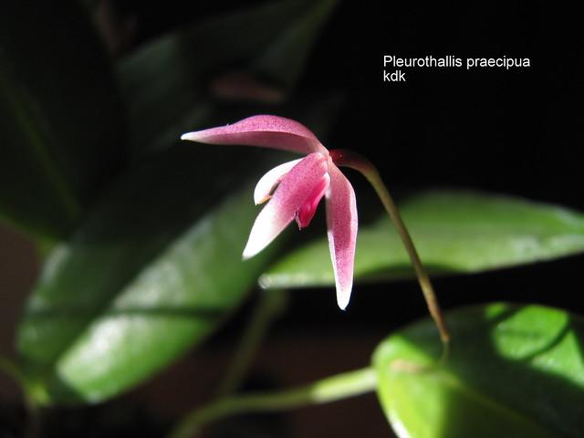 Pleurothallis praecipua