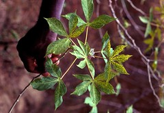 Infested cassava plant (IITA Image Library) Tags: infestation cassava manihotesculenta