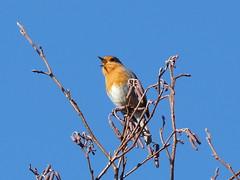 ROCKING ROBIN (SEMMA3 (loves nature)) Tags: bird flickr lakes award watcher lakescumbria westcoasters blinkagain bestofblinkwinners birdsrobinsnaturewildlifethe robinsnaturebirdsthe