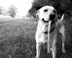 Me llevs de paseo? (MeluRogi) Tags: bw white black love blanco beautiful look yellow lab camino expression amor negro retriever bn paseo lovely mirada dorado expresin amoroso rogerlabrador