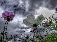 Heavenly Meadow 4 (akirat2011) Tags: japan hdr photomatix powershotg11