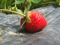 unharvest strawberry (ge manuel) Tags: flowers red macro green nature colors leaves closeup fruit garden lumix petals strawberry colorful bokeh philippines strawberries bloom baguio lx3