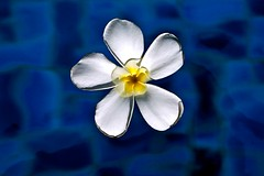 Floating Frangipan (what_u_see_is not_what_u_get) Tags: blue white flower water yellow floating float leelawadee frangipan