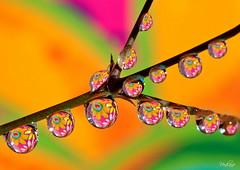 Nevena Uzurov - Happy hearts (Nevena Uzurov) Tags: light color macro reflection water hearts happy droplets drops waterdrop colorful branch heart drop refraction droplet vojvodina   sremskamitrovica srem  venkane  nevenauzurov