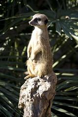SURICATA VIGILANDO (Oli Garcia) Tags: barcelona feet animal pie zoo