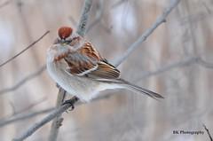 American Tree Sparrow (underoc32) Tags: winter cambridge bird birds nikon riversidepark waterlooregion nikond90 underoc32